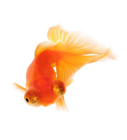 Orange Goldfish. White background. Isolated. Without shade. Stock Photo - 14674652