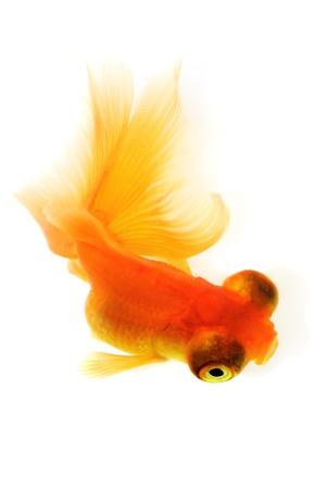 fishtank: Goldfish in aquarium. White background. Isolated. With shade.