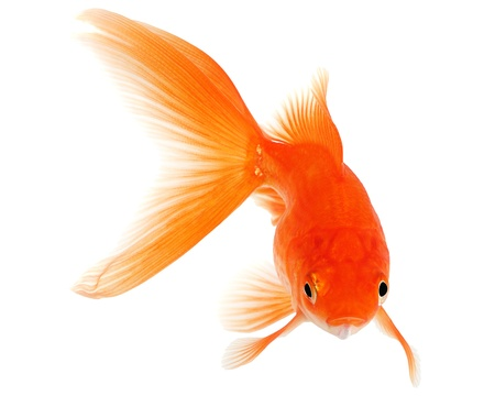 Gold Fish on White Background photo
