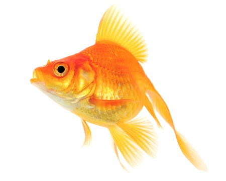 Orange Goldfish. White background. Isolated. Without shade. Stock Photo - 14674700