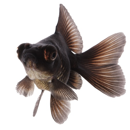 Black  Goldfish on White Stock Photo - 14675218