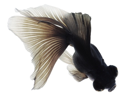 Black Goldfish on White background. Isolated. Without shade. Stock Photo - 14675376