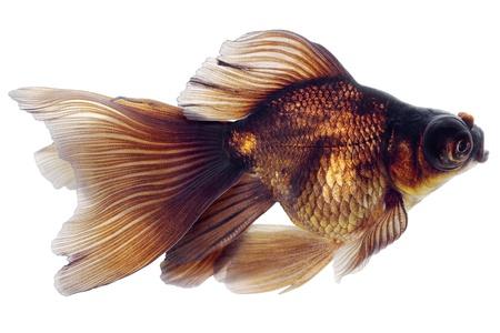 Brown Goldfish. White background. Isolated. Without shade. Stock Photo - 14675119