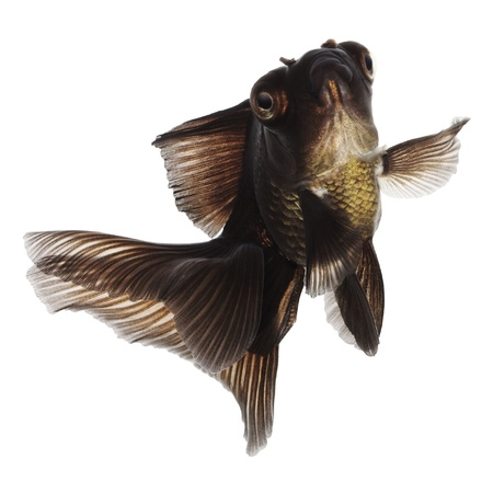 Jumping Black Goldfish on White Without Shade Stock Photo - 14675213