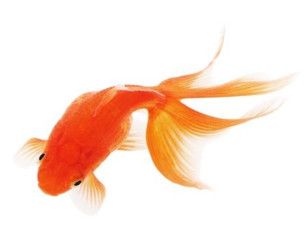 pez dorado: Goldfish en el fondo blanco