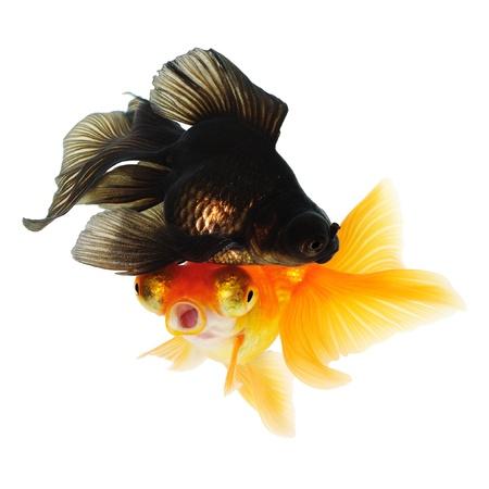 Two Goldfish  White background  Isolated  Without shade Stock Photo - 14674736