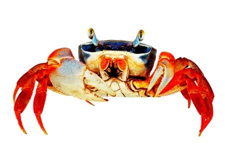 Rainbow Crab  White background  Isolated  Without shade  photo