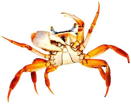 Crab on white photo