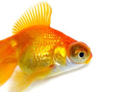 Orange Goldfish  White background  Isolated  With shade Stock Photo - 14675212