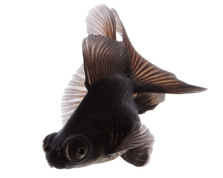 Black  Gold Fish on White Stock Photo - 14675371