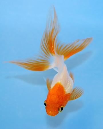simple fish: Goldfish on blue background.