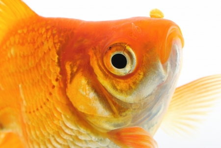 Goldfish Stock Photo - 14675331