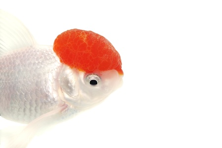 White Goldfish. White background. Isolated. Without shade. Stock Photo - 14674734
