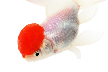 White Goldfish. White background. Isolated. Without shade. Stock Photo - 14674730