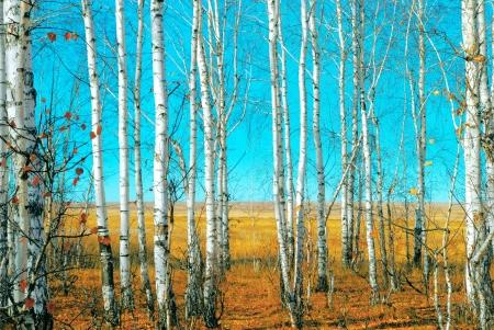 white birch tree: Birch grove