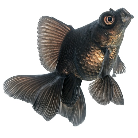 Black  Goldfish on White photo