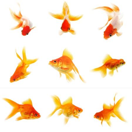 pez dorado: Conjunto de Goldfish en el fondo blanco sin sombra