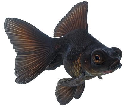 Black  Goldfish on White Stock Photo - 17102426