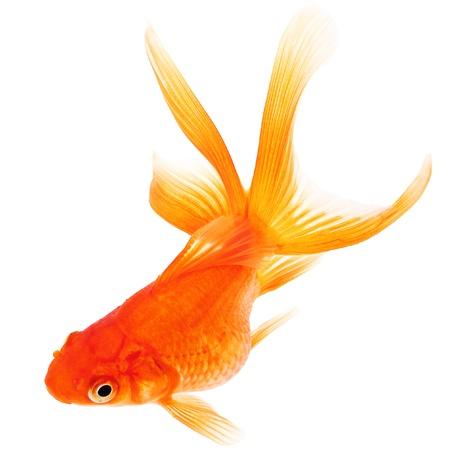 peces de colores: Goldfish en el fondo blanco