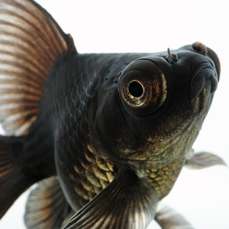Portrait of Black  Goldfish Stock Photo - 17102412