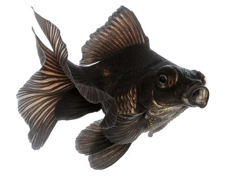 Black  Goldfish Isolated on White Without Shadow Stock Photo - 17969992