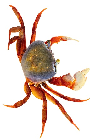 Crab Isolated on White Without Shadow photo