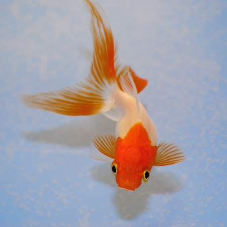 Goldfish  against a background in plastic tank Stock Photo - 17969995