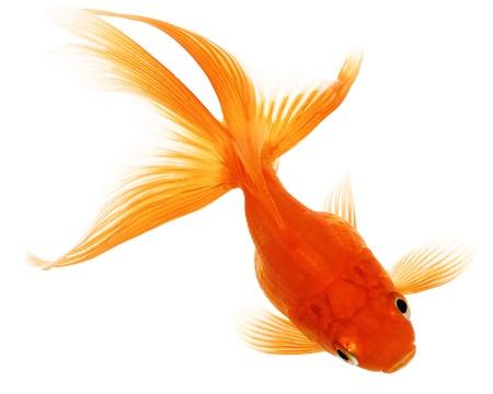 Orange Goldfish Isolated on White Background Without Shadow Stock Photo - 17969990