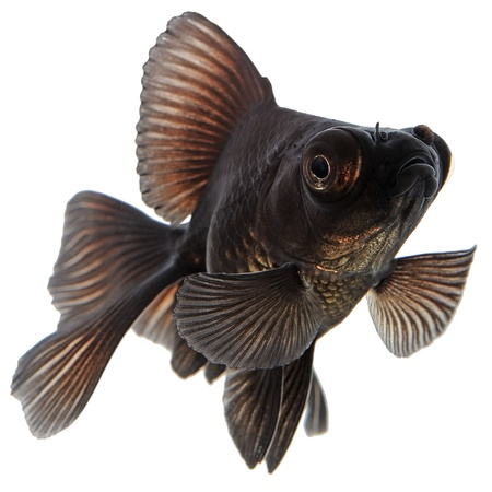 Black  Goldfish Isolated on White Without Shade photo