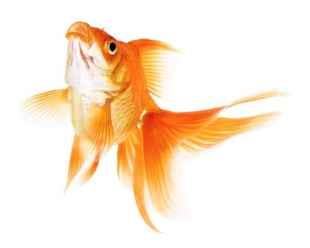 pez pecera: Goldfish de salto aislado en el fondo blanco sin sombra