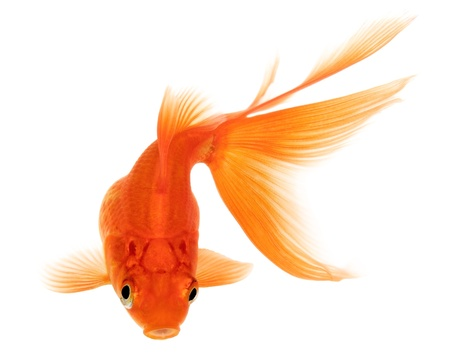 Orange Goldfish Isolated on White Background Without Shadow photo