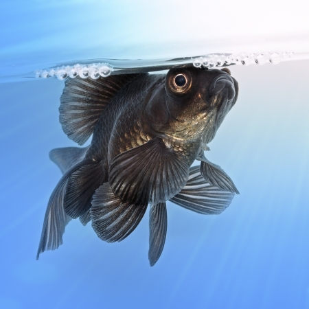 Black goldfish in the water photo