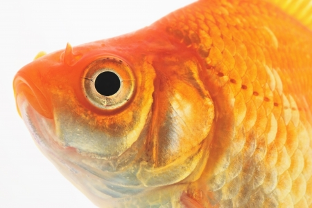 Portrait of Goldfish on White Background Stock Photo - 20163170