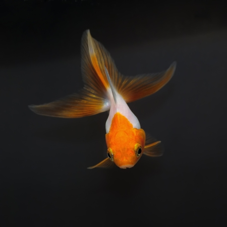fishtank: White goldfish with red head on a black background Stock Photo