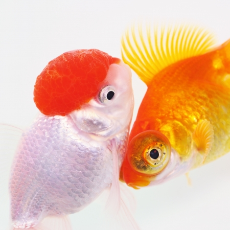 Two Goldfish on White Stock Photo - 20163155