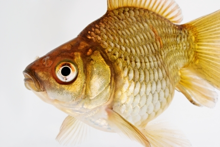 Portrait of Common Goldfish on White Background Stock Photo - 24183262