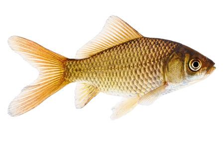 Fish  Common Goldfish Isolated on White Stock Photo - 24148307