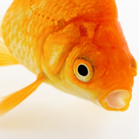 Portrait of Goldfish on White Stock Photo - 24148330