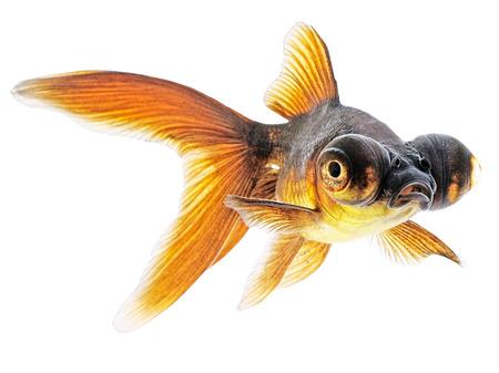 Globe Eye Goldfish Isolated on White  Stock Photo - 24148338