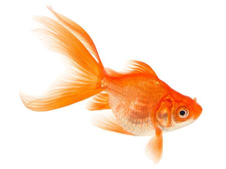 Orange Goldfish Isolated on White Stock Photo - 24148339