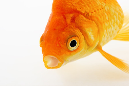 Goldfish on White Stock Photo - 24183200