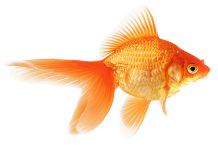 Goldfish Isolated on White Background  Stock Photo - 24171403