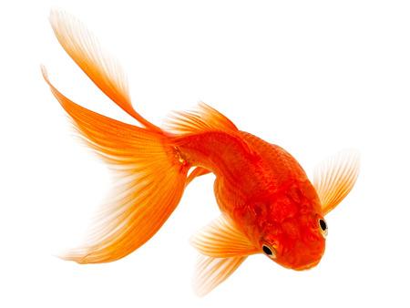 Red Goldfish Isolated on White Background Stock Photo - 24171651