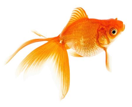 Orange Goldfish Isolated on White Stock Photo - 24171738