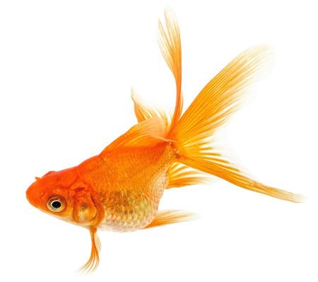 Orange Goldfish Isolated on White Background  Stock Photo - 24198063
