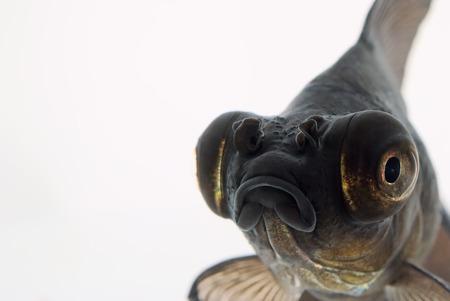 Portrait of Black Goldfish on White Background Stock Photo - 24198281