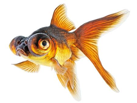Telescope eye Goldfish Isolated on White Background  Stock Photo - 24191626