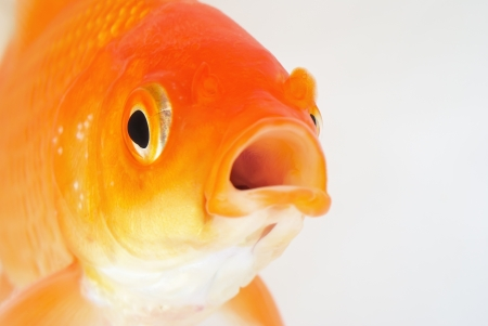 Portrait of Red Goldfish on White Background Stock Photo - 24191627