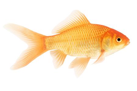 peces de colores: Goldfish aislado sobre fondo blanco