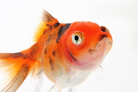 oranda: Portrait of Oranda Goldfish on White Background Stock Photo